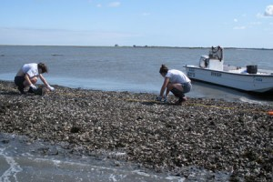 Smithsonian researchers Lori Davias and Jenna Malek collect oysters on an intertidal reef in the Chesapeake Bay. It is difficult to predict the effect of climate change on oyster populations because increasing temperatures will likely have at least two opposing effects. On one hand, intertidal oyster populations may be able to expand northward as winter temperatures rise. On the other hand, increasing summer temperatures are likely to worsen the problem of low oxygen concentrations and may reduce the extent or suitability of some subtidal habitat currently used by oysters. At this point, scientists are unable to predict whether the combination of these two factors will result in a net increase or net loss of habitat.  Photo: Sean Fate