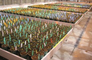 Photo of many hundreds of seedlings growing in a greenhouse.