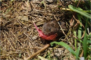 A vole munching on an evening primrose plant