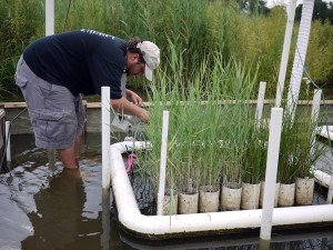 Man standing in marsh, measuring plants that are growing in a special floating device.