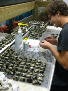 SERC intern labeling scores of slipper limpets, his research subject.