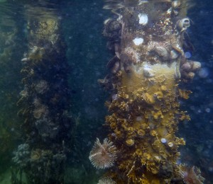 Life underwater. Fire coral, anemones, sponges and a diverse group of oysters cling to a dock at the Smithsonian's Bocas del Toro Marine Station. (Kristina Hill)