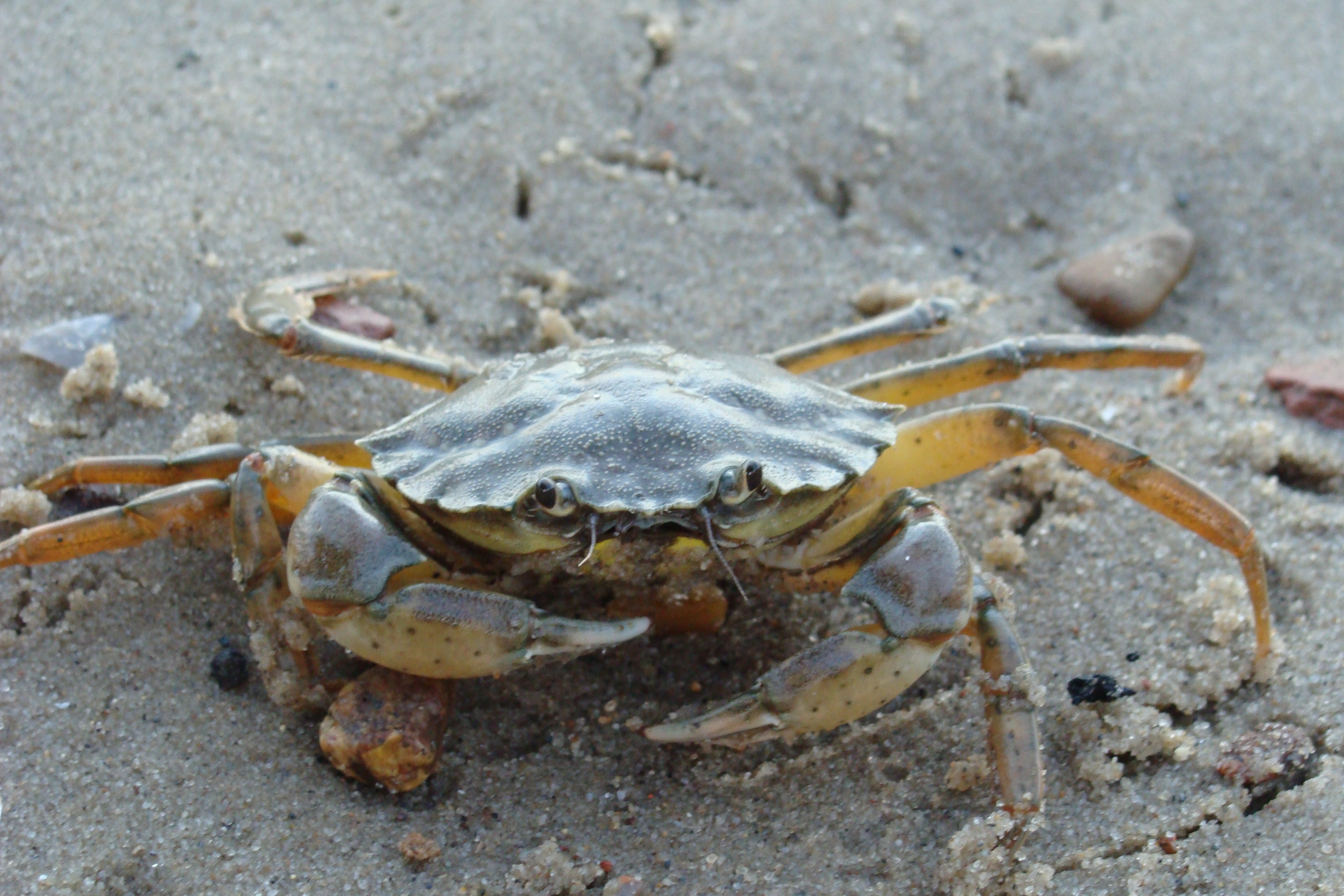 European Green Crab Carcinus maenas. Green crabs have visited every