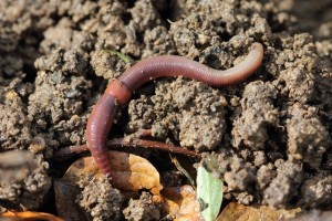 Lumbricus rubellus, a European earthworm that is now one of the most common in the eastern U.S.  More than 10,000 years ago, Pleistocene glaciers wiped out native earthworms. Today virtually all earthworms in the U.S. north of Pennsylvania are invasive. (Holger Casselmann)