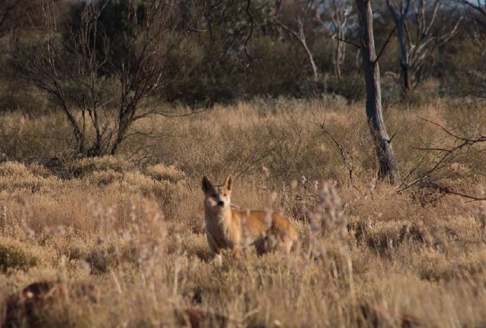 The Australian Dingo arrived in Australia roughly 4,000 years ago, giving the ecosystem plenty of time to adapt to it. (Alessandro from Milan, Italy/Wikimedia Commons)