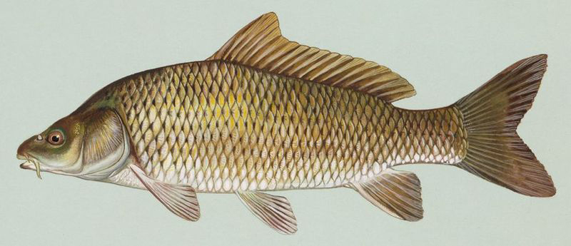 The common carp (Cyprinus carpio) is a delicious treat to some; an irritating pest to most. (U.S. Fish and Wildlife Service)