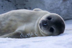 Because they must lean to navigate under sea ice in just over a month, baby Weddell seals are born with near adult-sized brains. (Samuel Blanc)