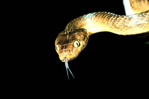 Brown tree snakes (Boiga irregularis) caused the local extinction of more than half of Guam's native birds and lizards after it invaded the island in the 1940s. (National Park Service)