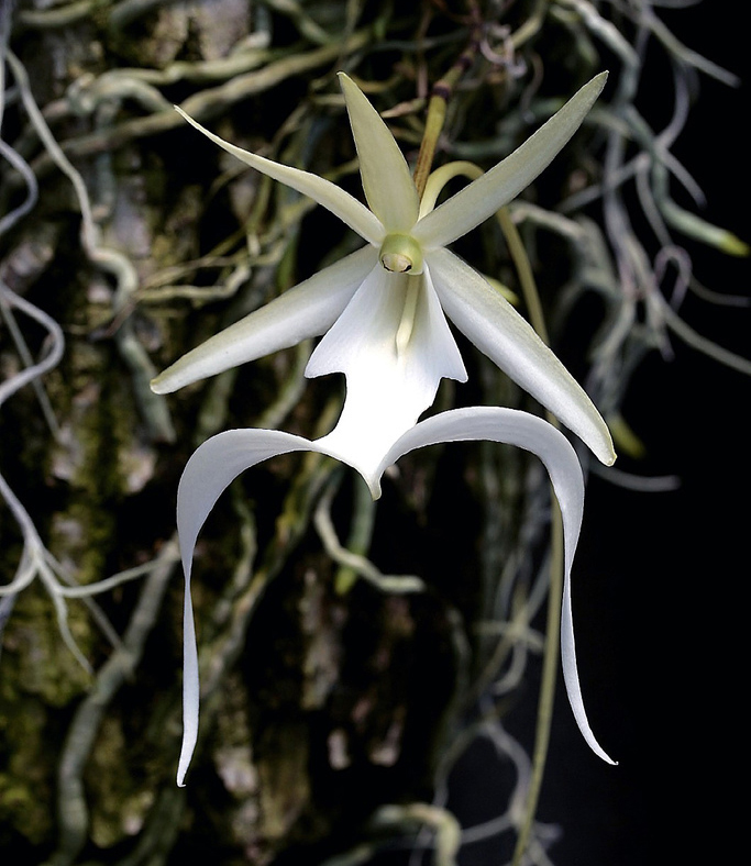 Ghost orchid (NC Orchid)