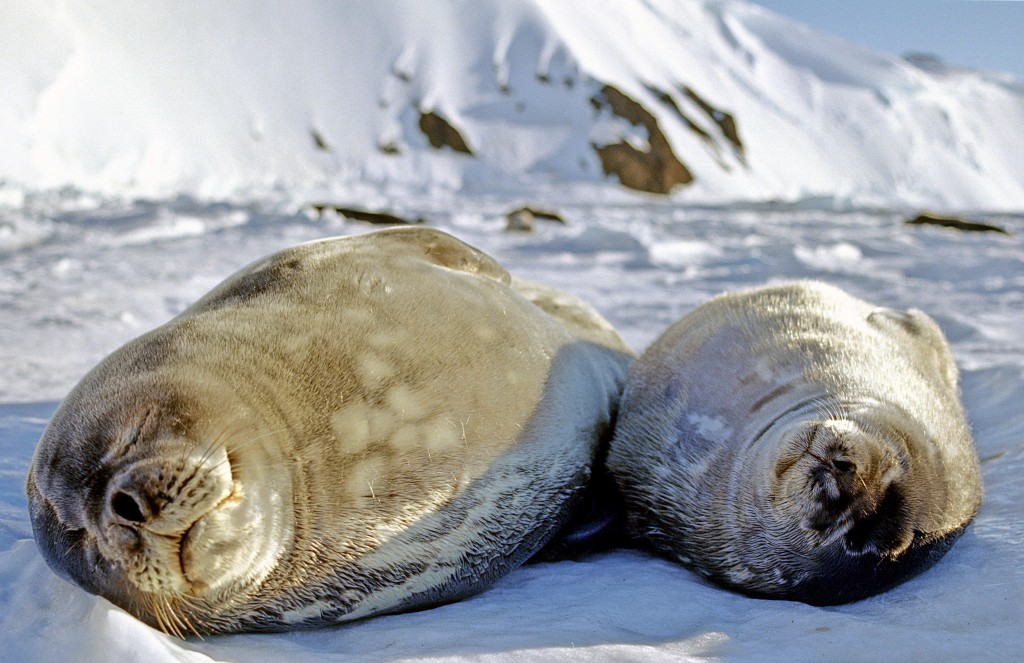 Weddell seals sleeping on the ice. While nursing their young, Weddell seal mothers go through a fasting period and can sacrifice a great deal of body mass to sustain their pups. (Regina Eisert)