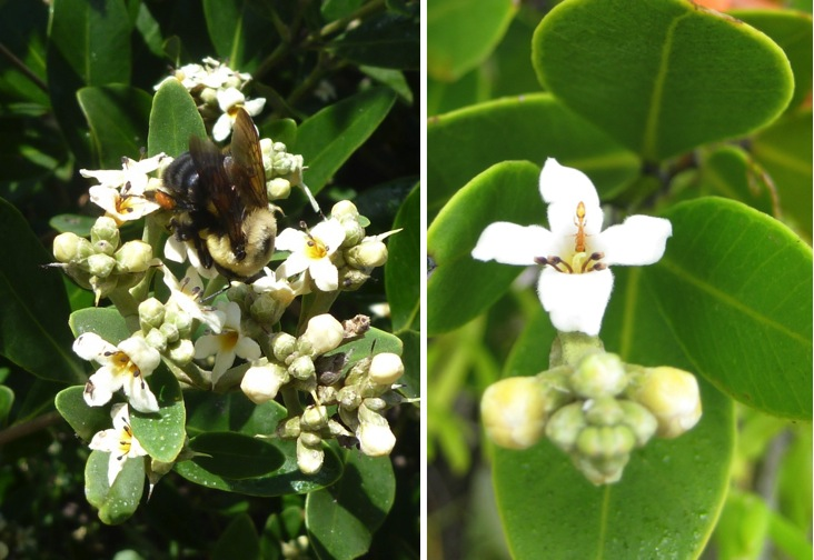 Many insects visit black mangrove flowers, including bumblebees (left) and Pseudomyrmex ants (right). But which pollinators are the most important? (Mayda Nathan)