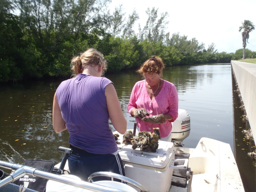 Sherry Reed (in pink) and Kristina Hill pick through clumps of oysters removed from the seawall at the Harbor Branch Oceanographic Institute. (Katrina Lohan)