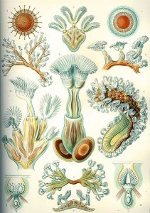 An illustration depicting bryozoans from Ernst Haekel's The Art of Nature (photocredit: wikipedia)