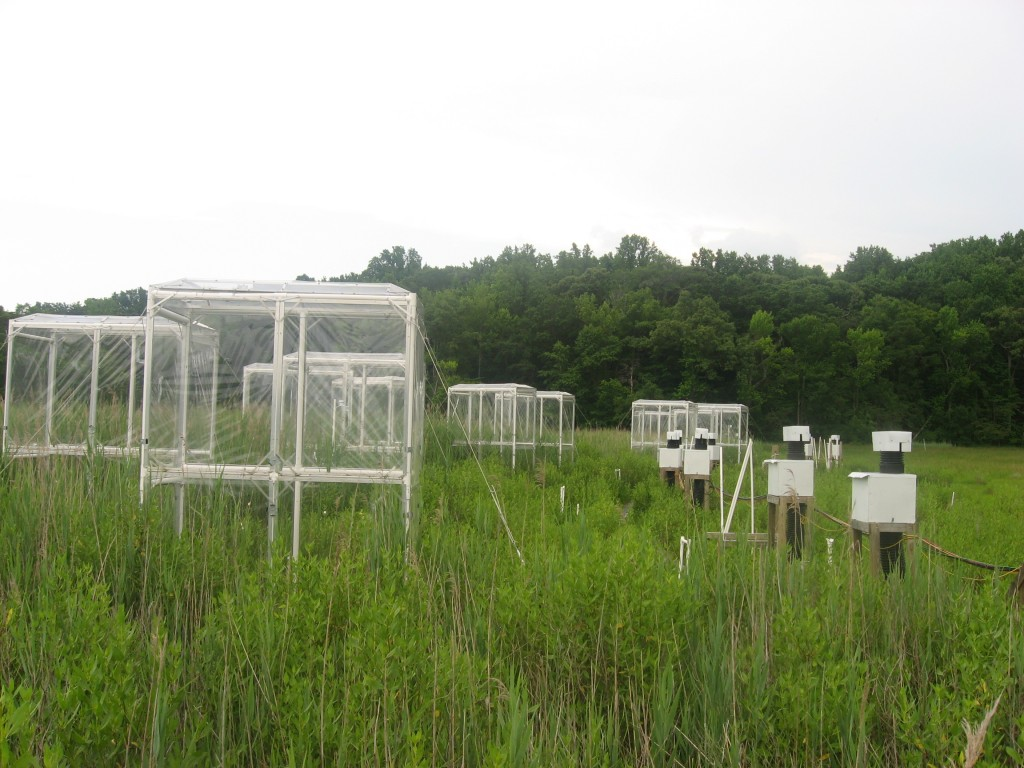 These chambers at Kirkpatrick marsh allow the amount of CO2 and nitrogen to be manipulated, allowing researchers to understand how climate change will affect the growth of Phragmites.