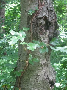 Hairy vine, no friend of mine! Climate change could make poison ivy more noxious. (photo credit: edenpictures/Flickr)