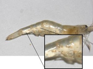 A grass shrimp infected with a trematode parasite (photo: Sara Gonzales)