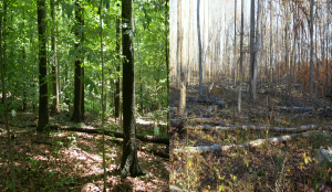 Unlogged (right) vs. Logged  forest. (photo credit Hope Zabronksy)