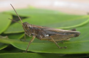 Spotted-winged grasshopper, one of two insect herbivores the team tested to see if they would eat mangrove leaves. (Alex Forde/UMD)