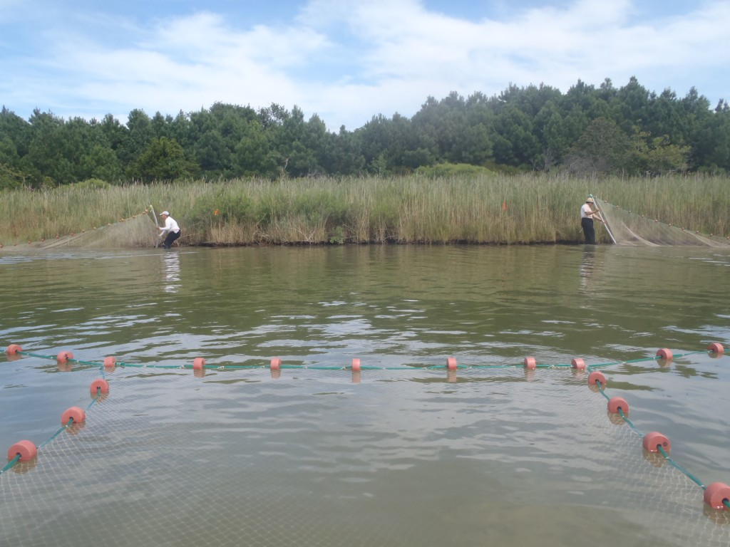 A 200-foot seine net helped ecologists capture and identify nearshore predators that feed on nekton. (SERC)