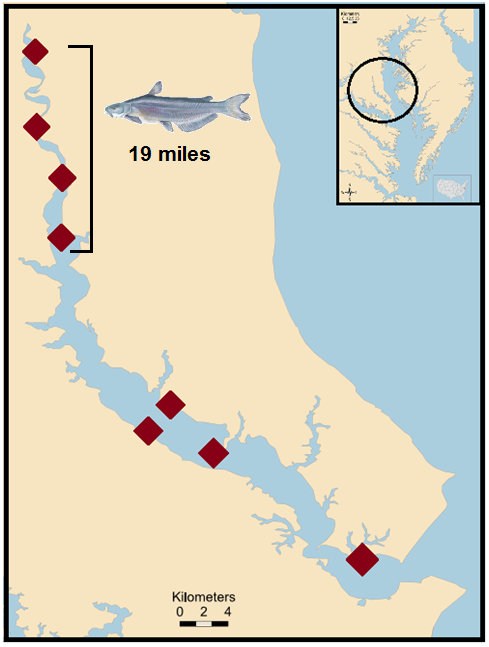 Distance Megalodon traveled in the Patuxent River over nine days. As he swam downstream, he was detected at four telemetry receivers (red diamonds).