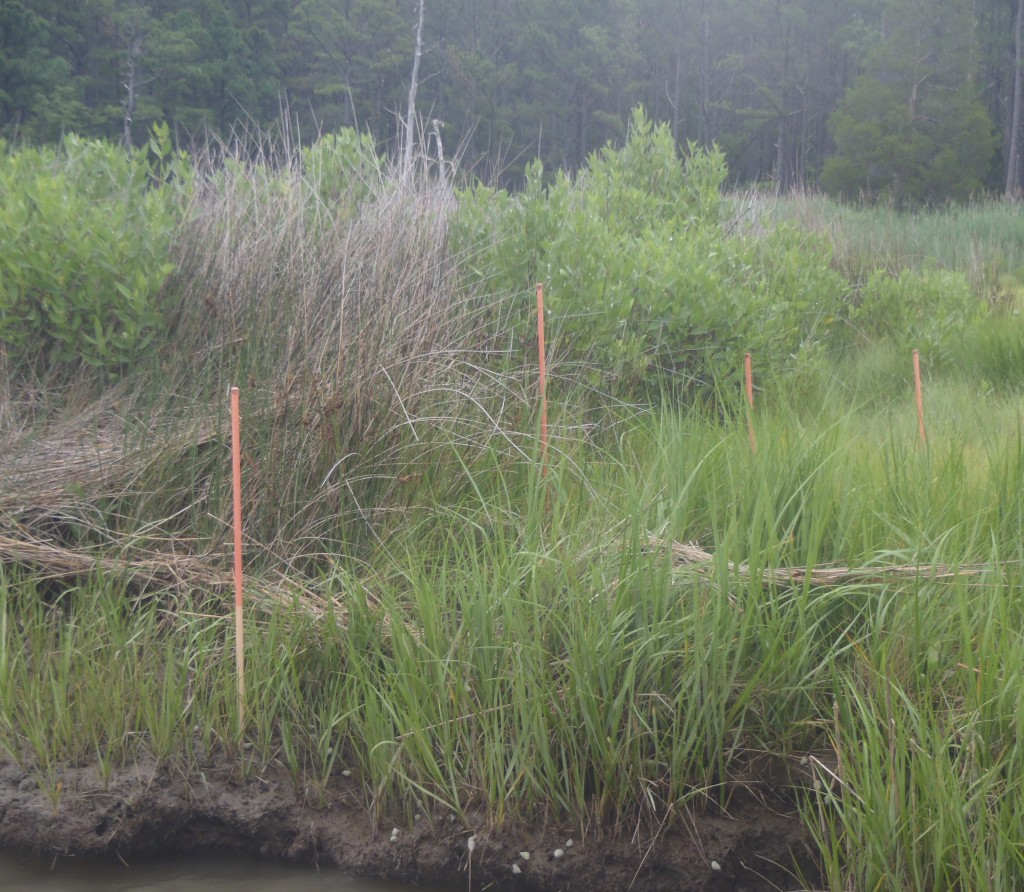 Phragmites marsh. The sticks, painted with red Elmer's glue that washed off in the water, mark how deep the marsh was under water at high tide. (SERC)