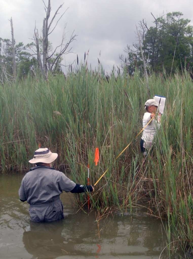 Ecologist Heather Soulen (right) wades through a patch of Phragmites in Chesapeake Bay. (SERC)