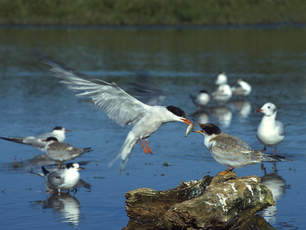 A common tern brings food to his mate (Lukasz Lukasik)