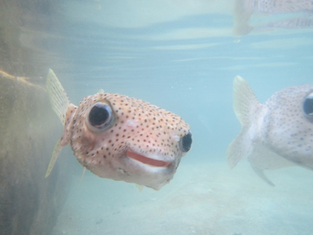The porcupine fish, one of Galeta's mascots. (SERC)