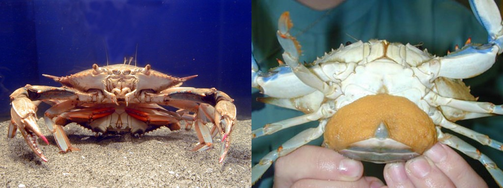 "Photo: Left: Two blue crabs mating. Right: A ""sponge crab."" The sponge is a dense mass made up of millions of eggs. (Credit: SERC)"
