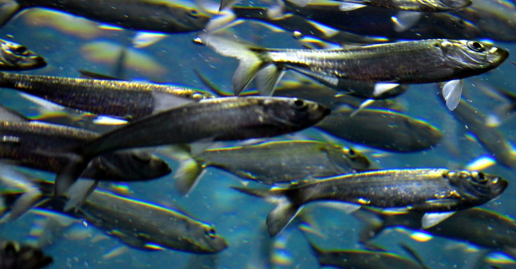 Image: Alewives, a species of River Herring. (Credit: Geoffrey Gilmour-Taylor)