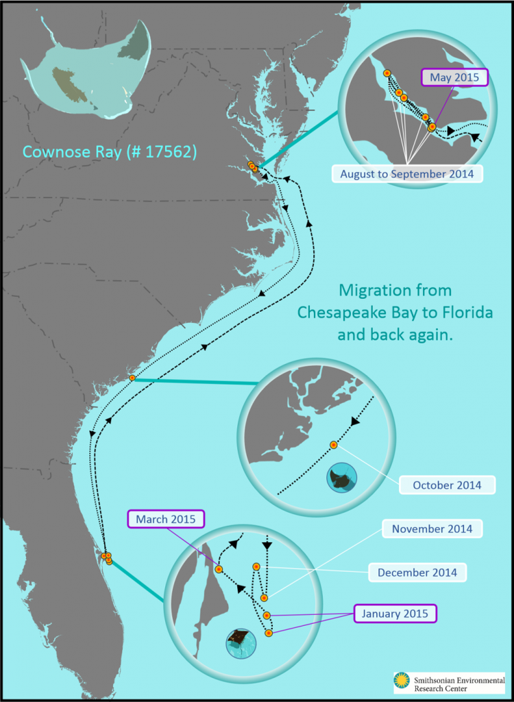 SERC researchers mapped the migration of a cownose ray tagged in the summer of 2014 from the Chesapeake Bay to Florida and back to the Chesapeake Bay. (SERC)