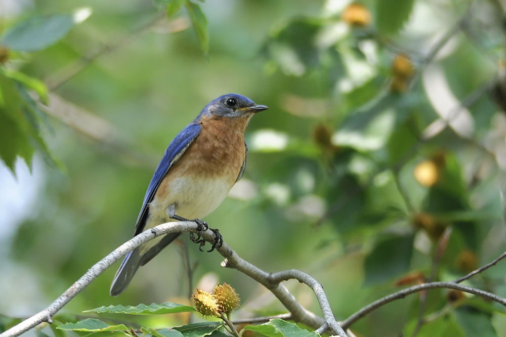 A male bluebird. (Matt Storms)