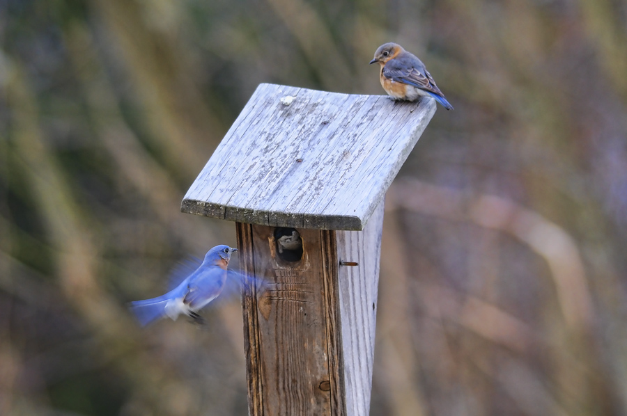 Male and female bluebirds at a nesting box.