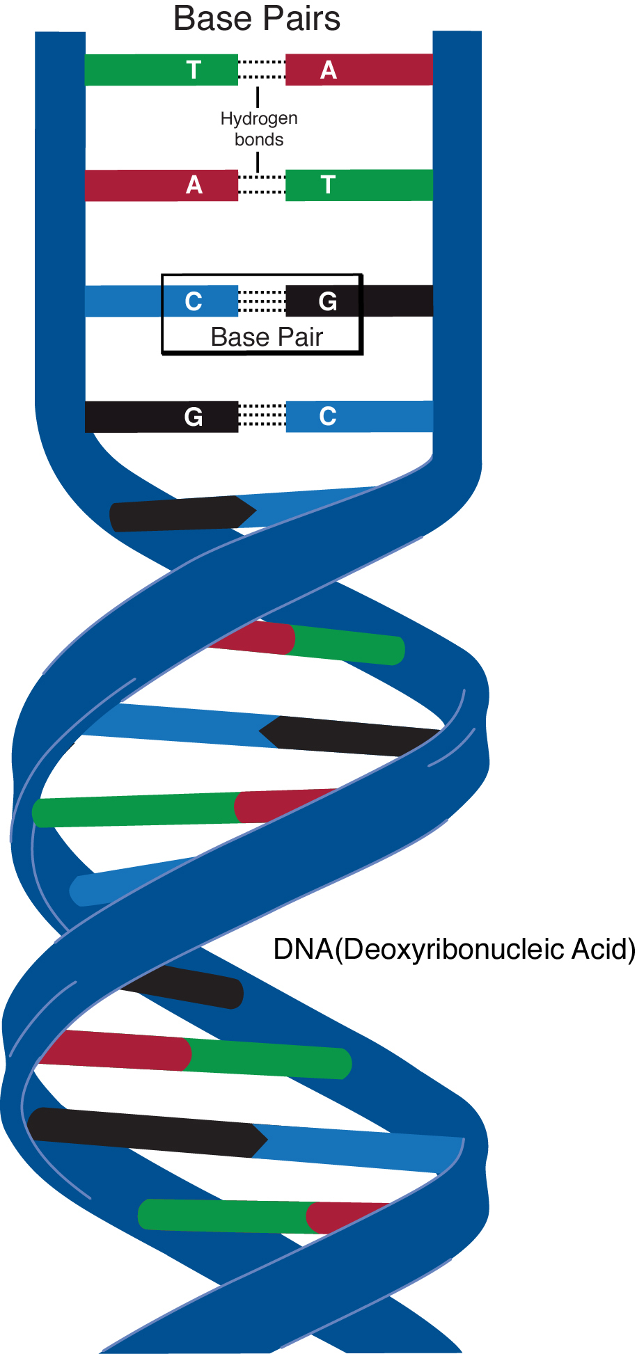 """A base pair is two chemical bases bonded to one another forming a """"rung of the DNA ladder."""" Photo: Darryl Leja, NHGRI public domain"""