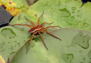 Six-spotted fishing spider (Dolomedes triton). Credit: Derek Ramsey