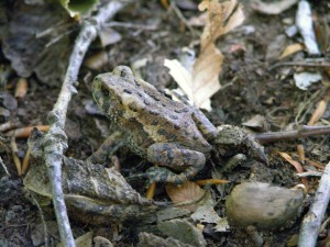 American Toad (Photo: Tyler Bell)