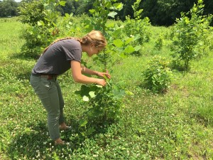 Anna Nordseth surveys clay caterpillars for damage in BiodiversiTREE plot