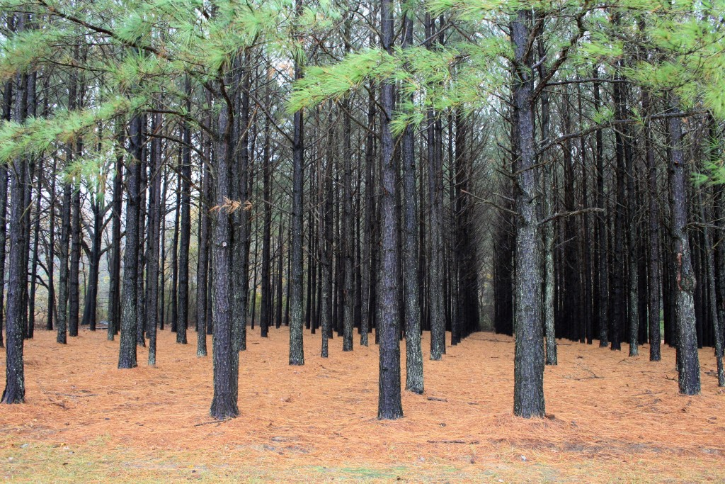 A monoculture pine (Pinus taeda) plantation in the United States