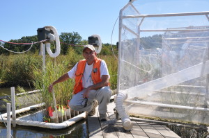 Scientist beside a Phragmites experiment on the water.