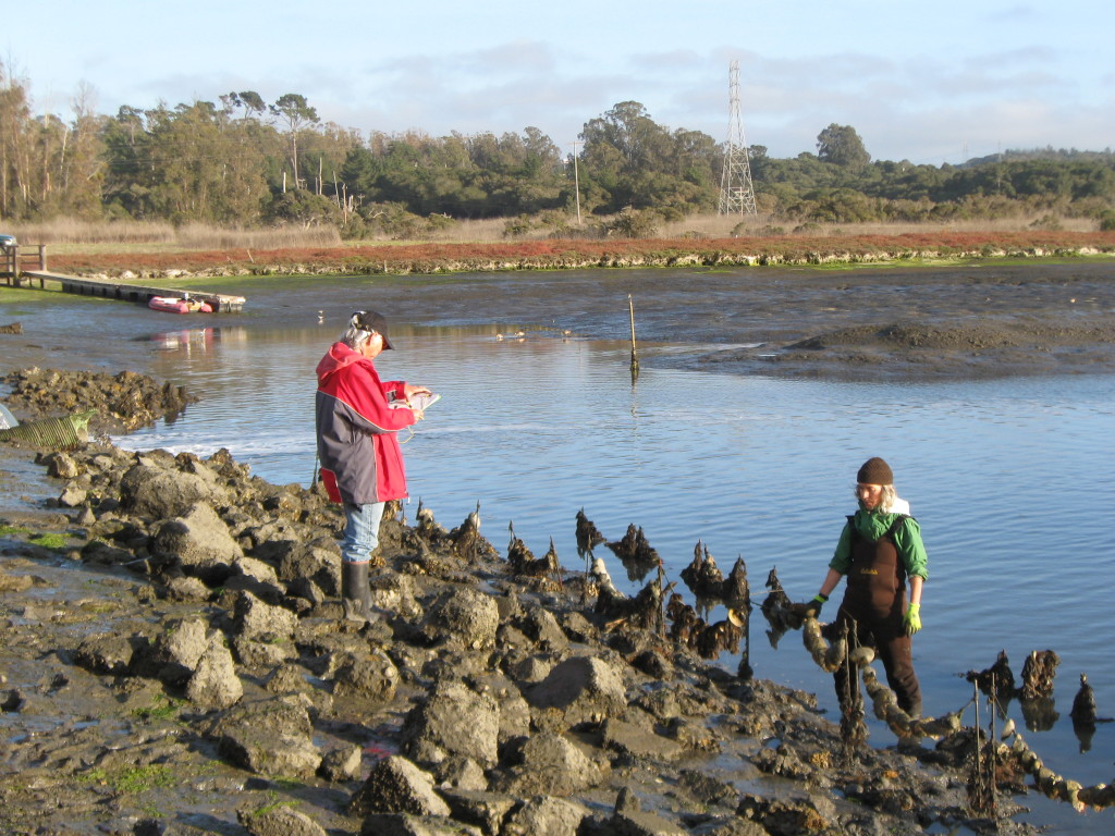 Scientists inspect oyster restoration experiment on shore