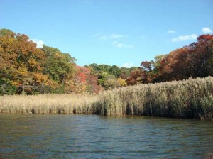 Phragmites australis growing in a subestuary of Chesapeake Bay.