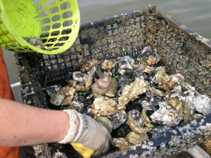A researcher culls through a basket of Chesapeake Bay oysters.