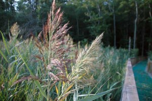Two different genotypes of the non-native plant Phragmites australis growing in a Chesapeake Bay wetland