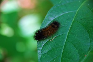 Photo of woolly bear caterpillar on leaf