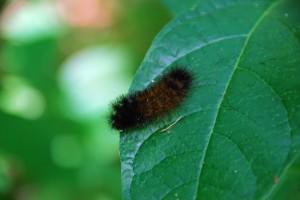 Photo of woolly bear caterpillar on leaf