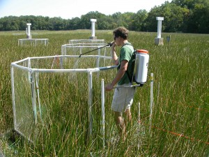 Scientist Adam Langley stands in marsh and sprays plants with excess nitrogen.