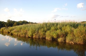 A landscape shot of the research marsh, with water in the foreground and marsh plants in the background.
