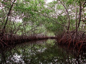Photo of a creek surrounded by a mangrove forest