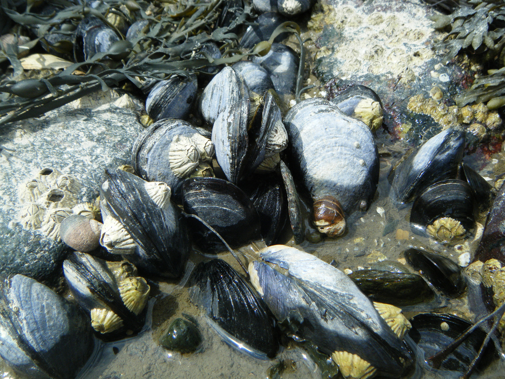 Ocean Acidification Changing Mussel Shell Structure - Yale ...  Mussels In Ocean