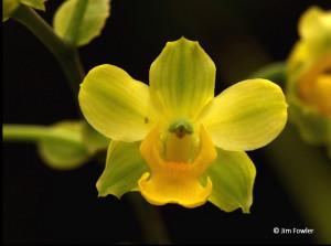 Yellow cowhorn orchid, Cyrtopodium flavum (Jim Fowler)